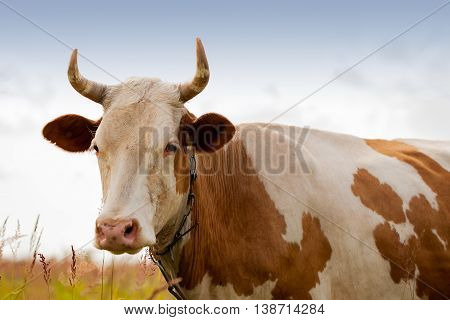 Portret of domestic red young cow with white spots on pasture in the village looking at us , blue scy. Ecology, organic cattle farming and agriculture concept. For horizontal background