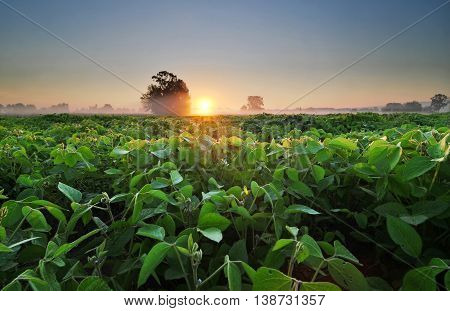 Field of soybean in the early morning
