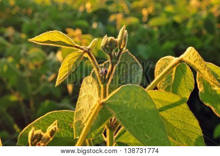Close up photo of a soybean plant