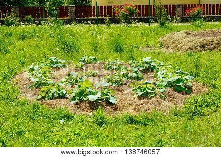 young hokkaido pumpkin plants on straw bet in permaculture garden