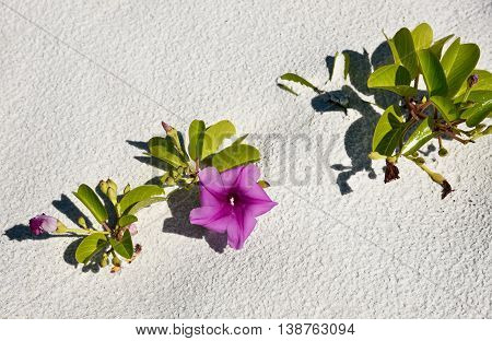 A Beach Morning Glory Railroad Vine growing on the Beach poster