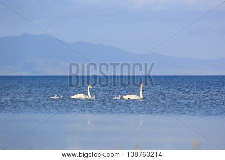 closeup of swan family in the swamp