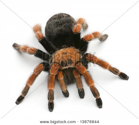 Tarantula spider, Brachypelma Boehmei, in front of white background poster