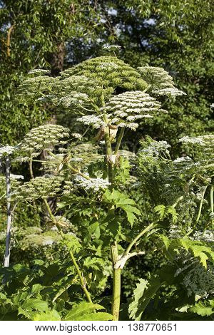 Heracleum Sosnowskyi or Sosnowsky's Hogweed, is a flowering plant. All parts of plant contain the intense toxic allergen furanocoumarin. poster