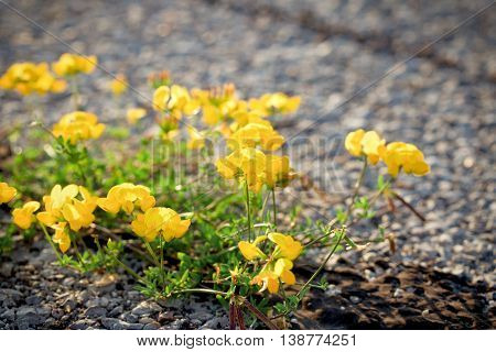 Flowers on the airstrip (runway) - life on asphalt