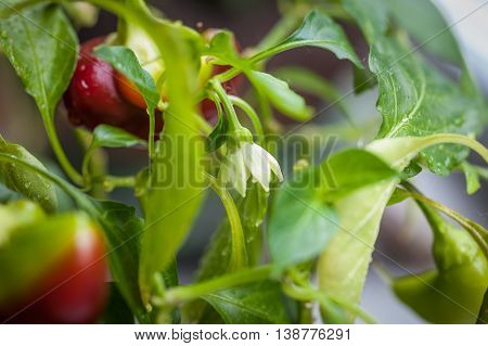 Red Bell Pepper Flower And Ripening Peppers