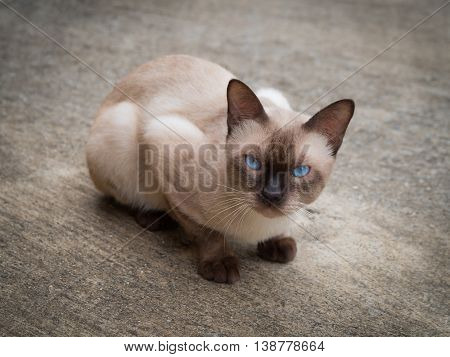 Thai famous cat (Siamese Cat Moon Diamond Seal Point) in dark and light brown hair and blue eyes looking and warily on floor