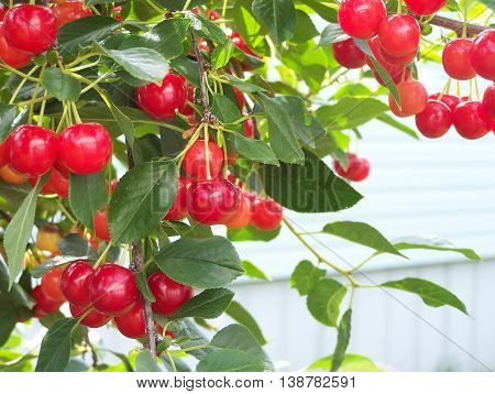 Cherries with  framed copy space area bottom