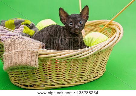 Black kitten Cornish Rex in the basket of knitting on a green background