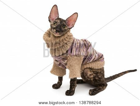 Cat breed Cornish Rex in a warm sweater isolated no white