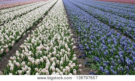 Beautiful Dutch Hyacinth Field. Spring flowers Netherlands (Holland).  Vibrant floral background.