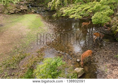 sika deer drinking water from stream in woodland