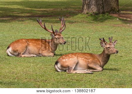 closeup of two sika deer resting on grass