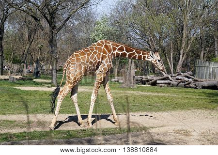 A young reticulated giraffe (Giraffa camelopardalis reticulata) walks with head lowered.