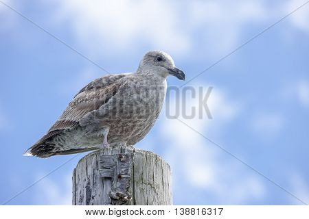 Close up of immature seagull on post at the Westhaven Cove in Westport Washington.