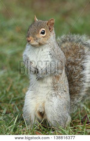 Gray Squirrel (sciurus carolinensis) standing upright on a lawn