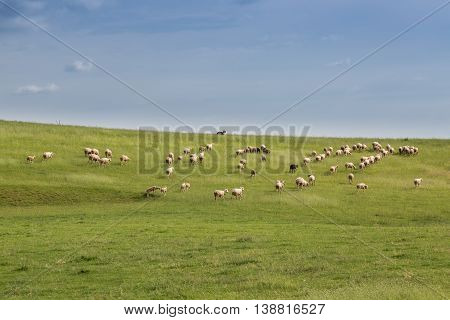 Sheep and sheep dog on a spring meadow