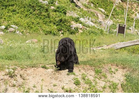 A large, big black bear in summer