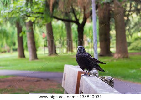 Black crow sitting on bench in park