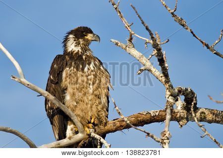 Young Bald Eagle Surveying the Area While Perched High in a Barren Tree