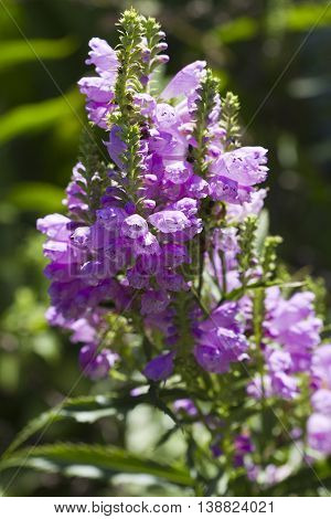 Purple Obedient Plant Blossom Spires  Physostegia virginiana