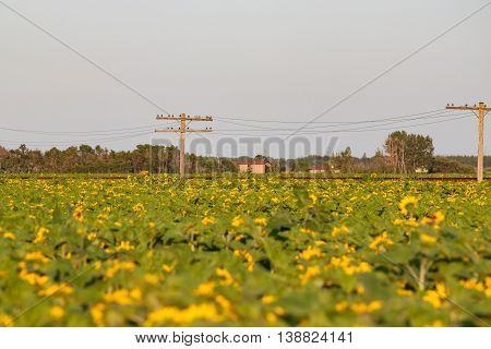 A field of sunflowers with a railway track and pole line beyond.