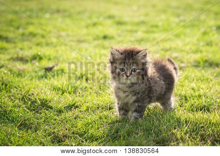 Close up cute tabby kitten standing and lookin on green grass