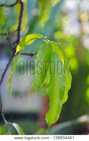 Mango leaf with bokeh background on the tree (Other names are horse mango Mangifera foetida Anacardiaceae Mangifera M. indica)