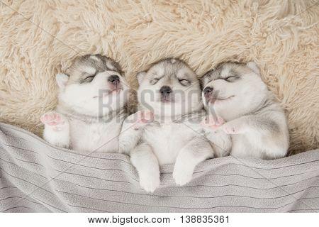 Three of siberian husky puppies sleeping under a grey blanket