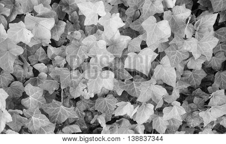 Ivy Hedera Plant In Black And White