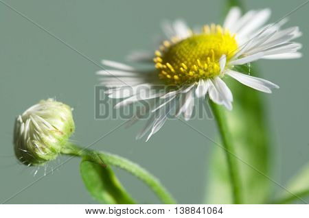 ox-eye daisy flower on green background close up
