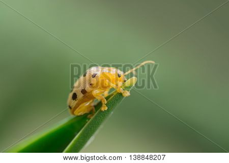 fourteen spotted beetle bug on leaf isolate on green background