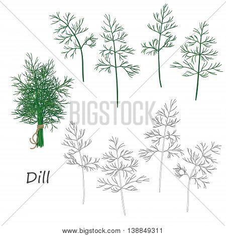 Set of outlined and green twigs of dill isolated on white. Bundle of dill tied with string.