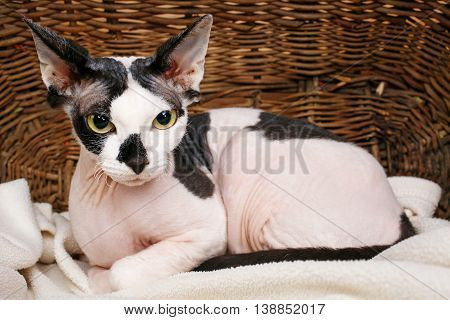 Close up Sphynx Cat Inside a Wooden Basket Looking Up.