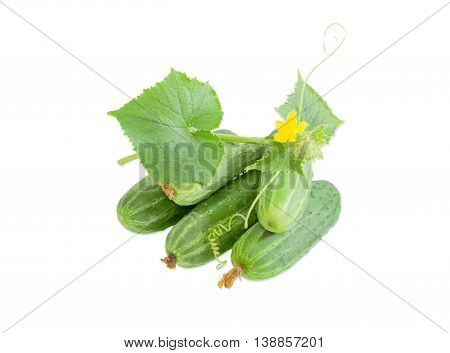 Several fresh cucumbers and creeping vine of cucumber with leaves tendrils and flowers on a light background
