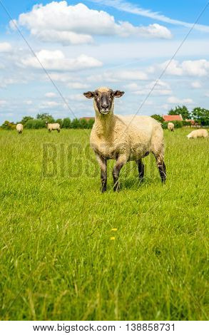 One curiously looking blackheaded sheep in the foreground of a group of sheep in a Dutch meadow with fresh green grass on a sunny summer day.