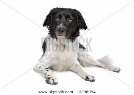 Stabyhoun or Frisian Pointing Dog in front of a white background poster