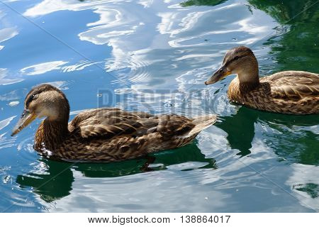 Graceful pair of wild ducks floating in blue water. Beautiful bird in its natural nature. Idyllic to the eye picture.