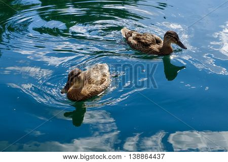 Graceful wild ducks swim in blue clear water. Beautiful bird in its natural nature. Idyllic to the eye picture.