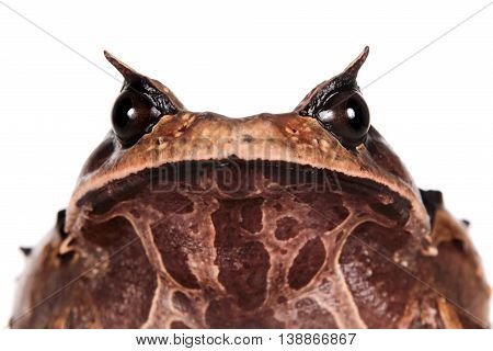 Annam spadefoot toad, brachytarsophrys intermedia, isolated on white background