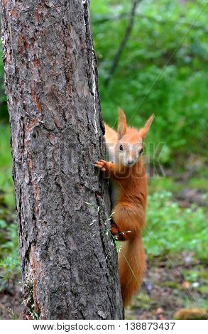 Little red squirrel climbing up tree in rain, suddenly saw something and become interested. She clutched long claws into bark of old pine tree trunk and looking in wrong direction. Blur in motion, background is blurred