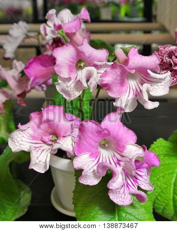 Blooming white and pink large flowers plant varieties collectible Streptocarpus