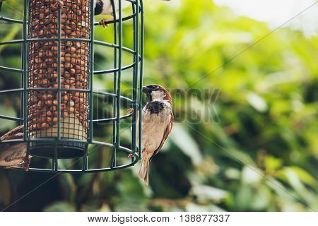 Tree Sparrow (passer Montanus) Group At Hanging Bird Feeder, Europe