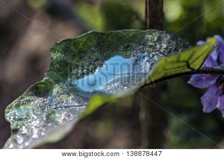 Preparing and spray verdigris on vegetable garden - copper sulphate