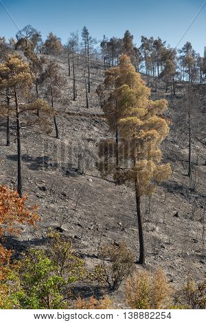Forest and trees burned after a big forest fire at Troodos mountains in Cyprus which created a big environmental damage.