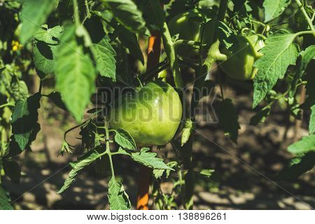 Green unripe tomato on branch in vegetable garden, selective focus, horizontal composition