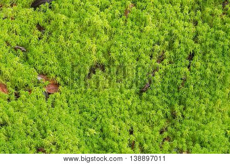 Texture of fresh green Peat moss, Sphagnum Moss growing in the forest in Chiangmai, Thailand