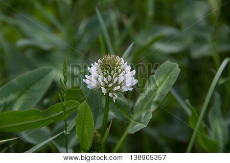 White Dutch clover Trifolium repens. Flower of the clover. Trifolium Repens L.