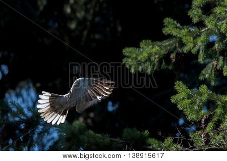 Turtle Dove Bird While Flying From Pine Tree Nest