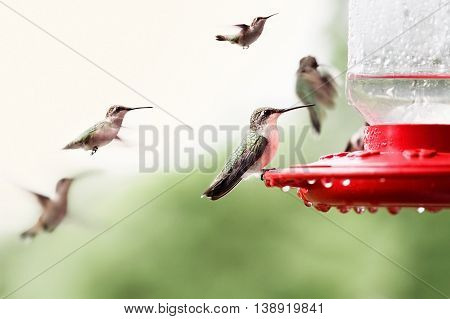 A beautiful female Ruby Throated Hummingbird (archilochus colubris) perched on a feeder with many other hummingbirds hovering around her. Extreme shallow depth of field with selective focus on bird in front.
